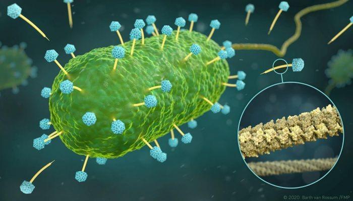 الكشف عن تركيبة أنبوب حامض نووي لعاثية بكتيرية